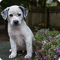 Adopt A Pet :: Rondo - Hainesville, IL