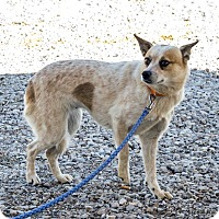 Blue Heeler Mix Dog for adoption in Minneapolis, Minnesota - Ginger