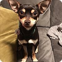 Chihuahua/Dachshund Mix Dog for adoption in Rancho Santa Fe, California - Elton
