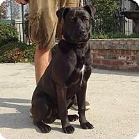 Adopt A Pet :: Raider - Lathrop, CA