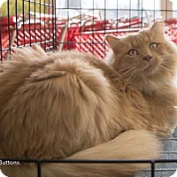 Adopt A Pet :: Buttons - Merrifield, VA