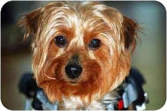 Yorkie, Yorkshire Terrier Dog for adoption in Commerce TWP, Michigan - HONEY/SPEC NEEDS