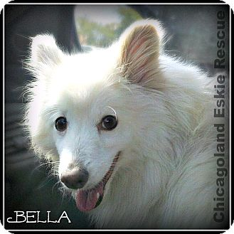 American Eskimo Dog Dog for adoption in Elmhurst, Illinois - Bella