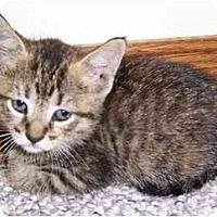 Adopt A Pet :: Female Kitten - Chicago, IL