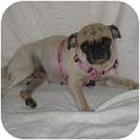 Adopt A Pet :: Ms. Puggie - Windermere, FL