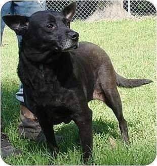 Labrador Retriever Mix Dog for adoption in Havana, Florida - Tara