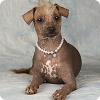 Adopt A Pet :: Micca - Henderson, NV