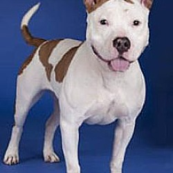 Photo 4 - American Staffordshire Terrier/Pit Bull Terrier Mix Dog for adoption in Chicago, Illinois - China