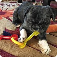 Adopt A Pet :: Ziggy - Springfield, VA
