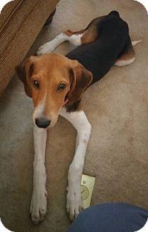 Treeing Walker Coonhound Puppy for adoption in Nashville, Tennessee - Cleo