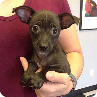 Chihuahua/Dachshund Mix Puppy for adoption in PHOENIX, Arizona - Olivia