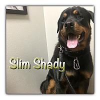 Adopt A Pet :: Slim Shady - Gilbert, AZ