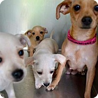 Chihuahua Mix Puppy for adoption in Alpharetta, Georgia - Zimmerman