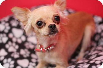 Chihuahua Dog for adoption in Phoenix, Arizona - Coffee