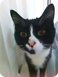 Domestic Shorthair Cat for adoption in Vancouver, British Columbia - Mattie