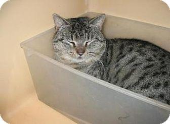 American Shorthair Cat for adoption in Brooklyn, New York - Rumble