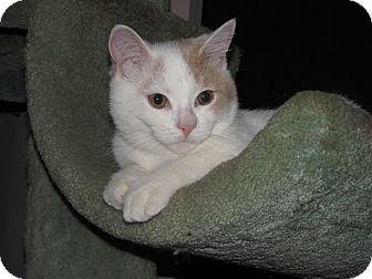 Domestic Shorthair Kitten for adoption in Burbank, California - Harlen ADORABLE KITTEN!