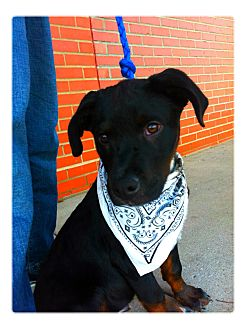 Rottweiler/Labrador Retriever Mix Puppy for adoption in Louisville, Kentucky - Fred