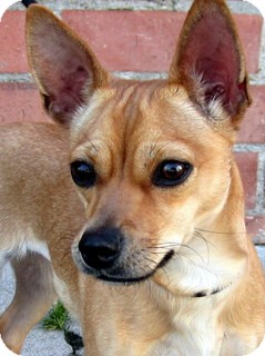 Chihuahua Mix Dog for adoption in Los Angeles, California - Dazzle *VIDEO*