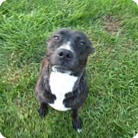 Adopt A Pet :: Moxy CP - Dayton, OH
