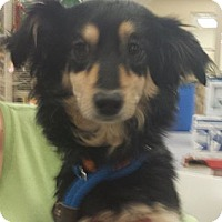 Adopt A Pet :: Twiggy - Phoenix, AZ