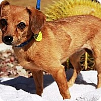 Adopt A Pet :: Cholla - Gilbert, AZ