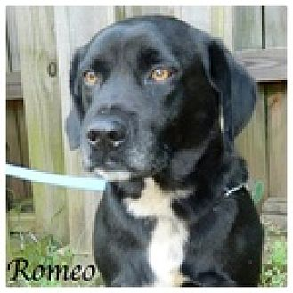 Labrador Retriever Mix Dog for adoption in Newnan, Georgia - Romeo
