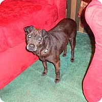 Adopt A Pet :: Sweet Pea-Lab Mix - Willingboro, NJ