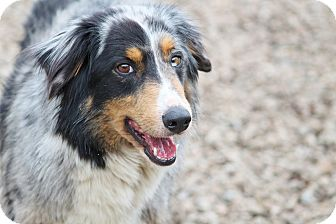 Australian shepherd dog for adoption in marion north carolina penny