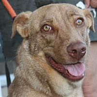 Adopt A Pet :: Lacy - Canoga Park, CA