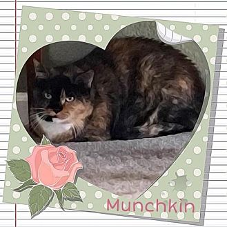 Calico Cat for adoption in Evergreen, Colorado - Munchkin - courtesy listing