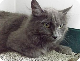 Domestic Mediumhair Cat for adoption in Orleans, Vermont - Papaya