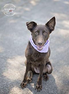 German Shepherd Dog/Doberman Pinscher Mix Dog for adoption in Houston, Texas - Frankie