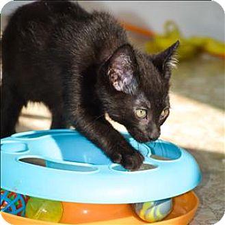 Domestic Shorthair Kitten for adoption in Vallejo, California - Prince Charming