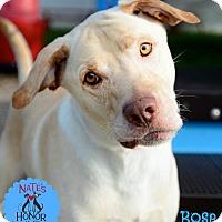 Adopt A Pet :: Bose - Bradenton, FL