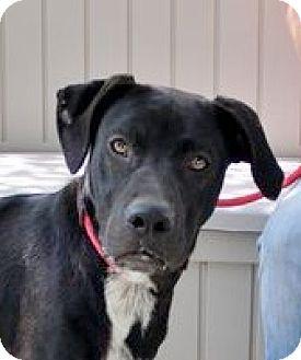 Labrador Retriever/Labrador Retriever Mix Dog for adoption in Yardley, Pennsylvania - Pepper  Sweetie!  Lower Fee!