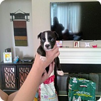 American Staffordshire Terrier/American Pit Bull Terrier Mix Puppy for adoption in Richmond, California - Minnie