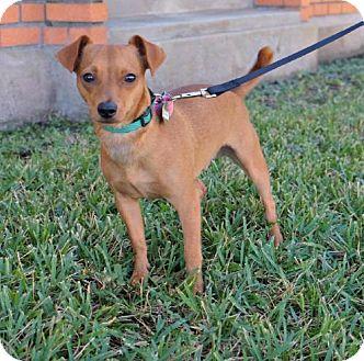 Dachshund/Chihuahua Mix Dog for adoption in Green Bay, Wisconsin - Gideon