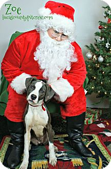 American Pit Bull Terrier/American Staffordshire Terrier Mix Dog for adoption in Toledo, Ohio - Zoe