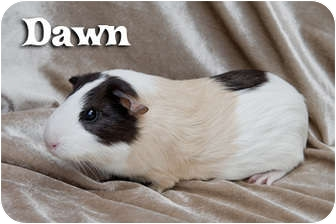 Guinea Pig for adoption in Fullerton, California - Dawn - Saffron