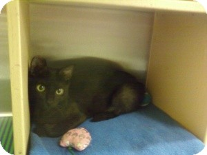 Domestic Shorthair Kitten for adoption in Fort Lauderdale, Florida - Dora