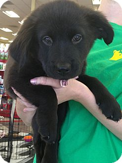 Labrador Retriever/Akita Mix Puppy for adoption in Phoenix, Arizona - Pearl