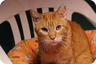 Domestic Shorthair Cat for adoption in Topeka, Kansas - Tim McGraw