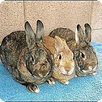 Adopt A Pet :: Alycia, Golda & Micki - Phoenix, AZ