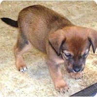 Adopt A Pet :: Puppy 1a - Irvington, KY
