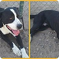 Adopt A Pet :: Crimson - Scottsdale, AZ