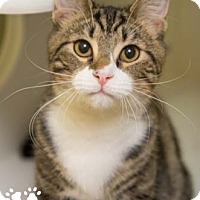 Adopt A Pet :: Tom - Merrifield, VA