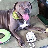 American Staffordshire Terrier Mix Dog for adoption in Toluca Lake, California - JellyBean