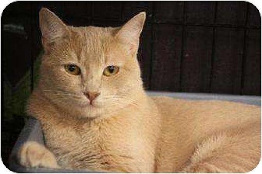 Domestic Mediumhair Cat for adoption in Chino, California - Hart
