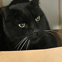 Domestic Mediumhair Cat for adoption in Roseville, California - Mr Pink